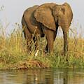 Africa, Zambia Elephant Next To Zambezi by Jaynes Gallery