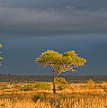 African Acacia Sunrise by Max Waugh