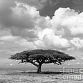 African Acacia Tree by Chris Scroggins