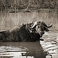 African Buffalo by Delphimages Photo Creations