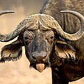 African Buffalo by Science Photo Library