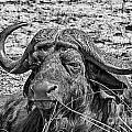 African Buffalo V4 by Douglas Barnard