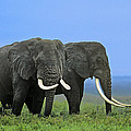 African Bull Elephants In Rain Endangered Species Tanzania by Dave Welling