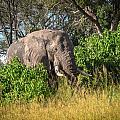 African Bush Elephant by Gregory Daley  MPSA