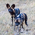 African Cape Hunting Dogs by Chris Scroggins