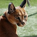 African Caracal Lynx  by Susan Garren