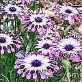 African Daisies by David Wallace Crotty