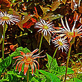 African Daisies In Aswan Botanical Garden On Plantation Island In Aswan-egypt by Ruth Hager