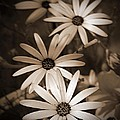 African Daisy Named African Sun by J McCombie