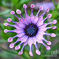 African Daisy - Square Format by Carol Groenen