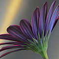 African Daisy. by Terence Davis