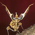 African Devil Mantis by Francesco Tomasinelli