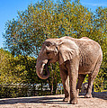 African Elephant 2 by Steve Harrington