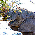 African Elephant Browsing In Kruger National Park-south Africa by Ruth Hager