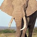 African Elephant Bull Amboseli by Gerry Ellis