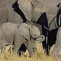 African Elephant Calf With The Herd by Suzi Eszterhas