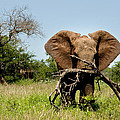 African Elephant Carying A Tree With Its Trunk by Dray Van Beeck