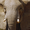African Elephant Close Up Amboseli by Gerry Ellis