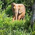 African Elephant Coming Through Trees by Chris Flees