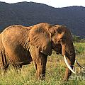 African Elephant by Deborah Benbrook