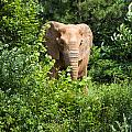 African Elephant Eating In The Shrubs by Chris Flees