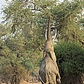 African Elephant Feeding From A Tree by Science Photo Library