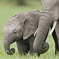 African Elephant Juvenile And Calf Kenya by Tui De Roy