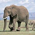 African Elephant Loxodonta Africana by David Davis