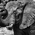 African Elephant by Mareko Marciniak