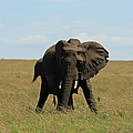 African Elephant Masai Mara Kenya by Aidan Moran