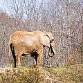 African Elephant On A Hill by Chris Flees