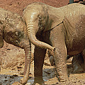 African Elephant Orphans Playing In Mud by Gerry Ellis