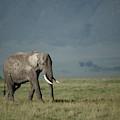 African Elephant by Paul E Tessier