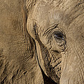 African Elephant by San Diego Zoo
