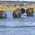 African Elephants Crossing Chobe River  Botswana by Liz Leyden