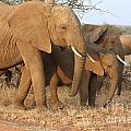 African Elephants by Liz Leyden