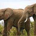 African Elephants by Menachem Ganon