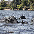African Elephants Swimming In The Chobe River by Liz Leyden