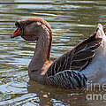 African Goose by Bianca Nadeau