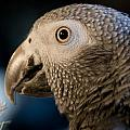 African Gray 1 by Jason Standiford