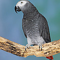 African Gray Parrot by Anthony Mercieca
