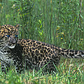 African Leopard Cub In Tall Grass Endangered Species by Dave Welling