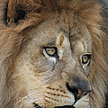 African Lion #5 by Judy Whitton