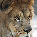 African Lion #8 by Judy Whitton