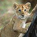 African Lion Cub Climbing Masai Mara by Yva Momatiuk  John Eastcott