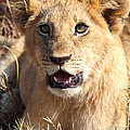 African Lion Cub Resting by Carole-Anne Fooks