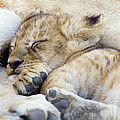 African Lion Cub Sleeping by Suzi Eszterhas
