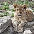 African Lion Cub by Tom Mc Nemar