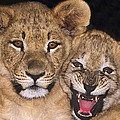 African Lion Cubs One Aint Happy Wldlife Rescue by Dave Welling