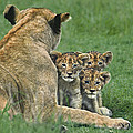 African Lion Cubs Study The Photographer Tanzania by Dave Welling